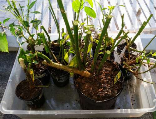 Winterized Pepper Plants