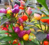 Bolivian Rainbow Pepper
